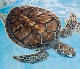 Schildpadden voer